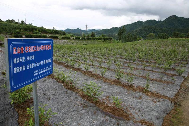望茶兴叹茶叶产业陷低谷 镇中村村茶产业发展记